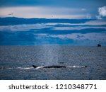 whale is swimming in the gulf...   Shutterstock . vector #1210348771
