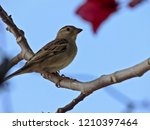 Young Female Sparrow On Tree...