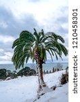 canary island date palm ...   Shutterstock . vector #1210458301