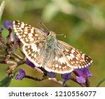 Female Common Checkered Skipper ...