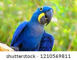 big blue parrot ara hyacinth... | Shutterstock . vector #1210569811