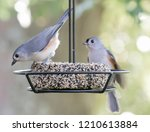 Cute Tufted Titmouse Birds Fro...