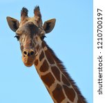 the giraffe close up  giraffa... | Shutterstock . vector #1210700197