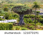 Dragon Tree Drago Milenario  ...