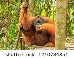 Male Sumatran Orangutan  Pongo...