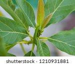 Avocado Tree Growing New Leaves