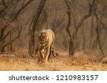 royal bengal tiger walking in... | Shutterstock . vector #1210983157