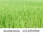 rice seedlings in the rice... | Shutterstock . vector #1211052964