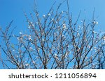 sakura flower blooming on blue... | Shutterstock . vector #1211056894