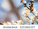 flowers white plum blossoming... | Shutterstock . vector #1211061127