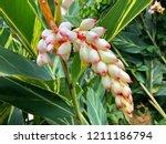 wet white flower of shell... | Shutterstock . vector #1211186794