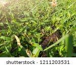 snake in backyard.danger that... | Shutterstock . vector #1211203531
