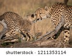 cheetah nuzzles cub on log in... | Shutterstock . vector #1211353114