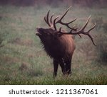 Wild Antlered Bull Elk During...