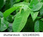 fresh raindrops glisten on the... | Shutterstock . vector #1211403241