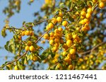 ripe yellow mirabelle plums on... | Shutterstock . vector #1211467441