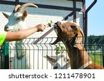 Small photo of Outdoor activity for children with animals. Spring, summer. Training with motivation. Girl feeds clover goats on farm, look like leader, manager, teacher, motivator, coach, swindler, fraudster