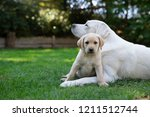 young adorable purebred... | Shutterstock . vector #1211512744