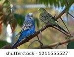 Two Budgerigars Sit On The...