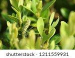 the box tree moth caterpillar   Shutterstock . vector #1211559931