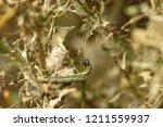 the box tree moth caterpillar   Shutterstock . vector #1211559937