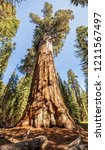 General Sherman Tree Sequoia National - Fine Art prints