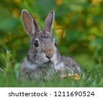 Rabbit Laying In Grass