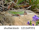 Small photo of A bright green lizard on a rock in the prairie - the fast Prairie Racerunner whiptail, Aspidoscelis or Cnemidophorus sexlineata viridis, similar to the italian wall lizard
