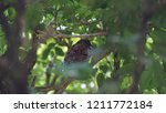 the scaly breasted munia or... | Shutterstock . vector #1211772184