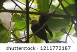the scaly breasted munia or... | Shutterstock . vector #1211772187