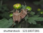 Brown Marmorated Stink Bug ...