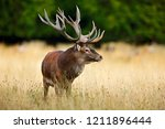 red deer stag  majestic... | Shutterstock . vector #1211896444