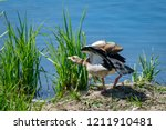 Egyptian Goose Stretching Wings