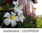 Plumeria Flowers With Rain...