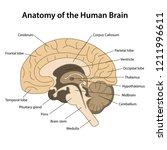 anatomy of the human brain... | Shutterstock .eps vector #1211996611