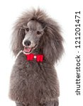 A Gray Male Standard Poodle Dog ...