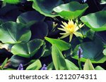 yellow water lily with leaves... | Shutterstock . vector #1212074311