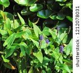 pickerel weed plants ... | Shutterstock . vector #1212078031