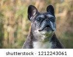 female french bulldog looking... | Shutterstock . vector #1212243061