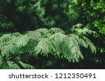 close up of pond pine branch | Shutterstock . vector #1212350491
