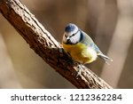 eurasian blue tit sitting on... | Shutterstock . vector #1212362284