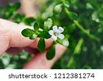 bacopa monnieri herb plant and... | Shutterstock . vector #1212381274