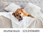 Stock photo happy ginger mixed breed dog in luxurious bright colors scandinavian style bedroom with king size 1212436684