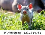 A Curious Piglet Stands Looking ...