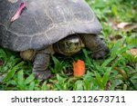 yellow headed temple turtle... | Shutterstock . vector #1212673711