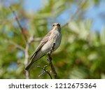 spotted flycatcher  muscicapa... | Shutterstock . vector #1212675364