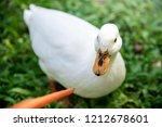 white male call duck.white duck ... | Shutterstock . vector #1212678601