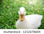 white male call duck.white duck ... | Shutterstock . vector #1212678604