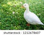 white male call duck.white duck ... | Shutterstock . vector #1212678607
