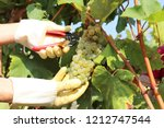 harvesting grapes in grape yard | Shutterstock . vector #1212747544